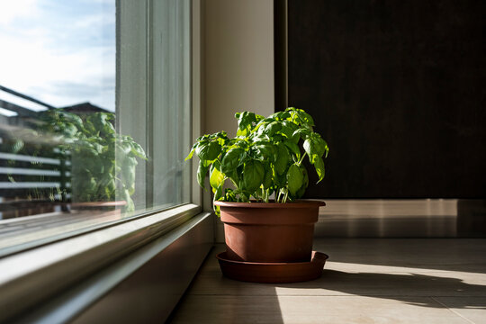 Potted basil plant indoors