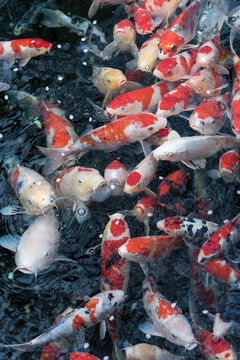 Koi fishes in a pond in Tokyo, Japan
