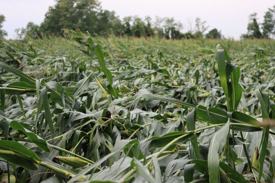 Green Corn field damaged by bad weather on summer. Storm on corn field