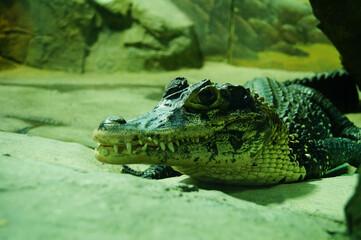 caiman crocodile spectacled reptile predator