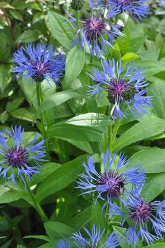 Knapweed garden blooming on flower bed in the middle of the summer. Blue colored flower heads. Garden perennial plants