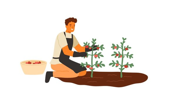 Young man picking ripe tomatoes. Agricultural worker in gloves harvesting vegetables. Farmer with organic natural crop. Flat vector cartoon illustration isolated on white background