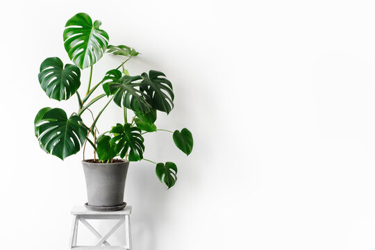 Monstera deliciosa or Swiss cheese plant in a gray concrete flower pot stands on a white pedestal on a white background. Hipster scandinavian style room interior. Empty white wall and copy space.