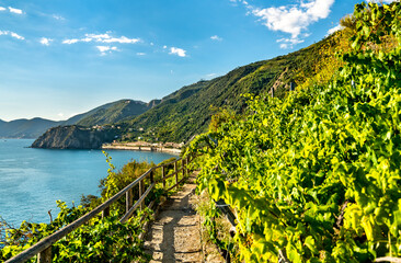 Pathway in vineyards at Manarola, Cinque Terre. UNESCO world heritage in Italy