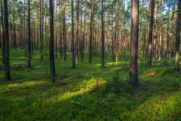 Obraz młody las sosnowy w okolicy Szczawina i Swędowa - fototapety do salonu