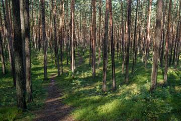 ścieżka przez las sosnowy