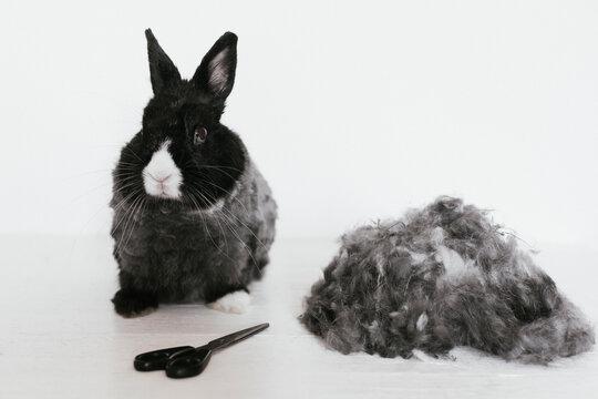 Angora rabbit haircut for summertime