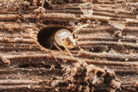 Subterranean termite emerging from a hole in a piece of wood