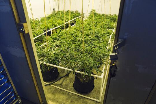 Indoor Medical Marijuana Grow Room