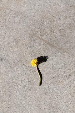 Dandelion laying on concrete floor