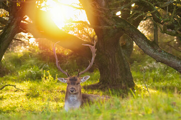 Fallow deer stag Dama Dama in a forest