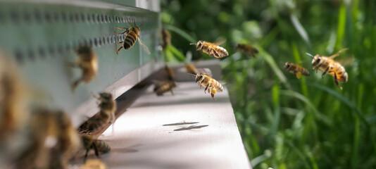 Abeilles récoltant le pollen à l'entrée de la ruche