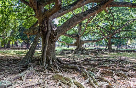 Sri Lanka Baum