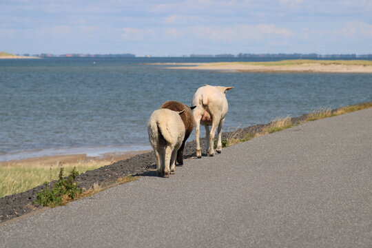 """Grazing sheep on the salty meadow between the dunes of Sylt in the UNESCO World Heritage Natural Site """"Wadden Sea"""""""