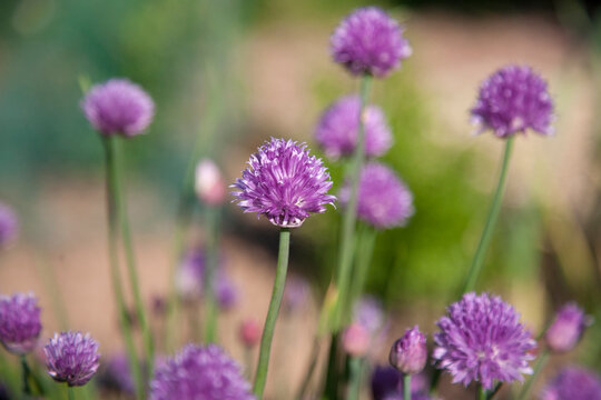 Pretty Chive Flowers Growing in a English Herb Garden