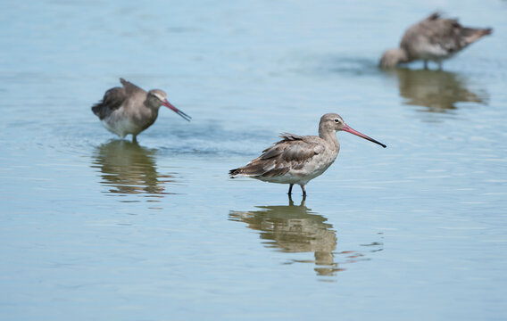 The black-tailed godwit with pink bill pick prey in swamp