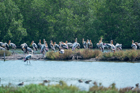 Flock of the painted stork standing in the wetlands , Thailand