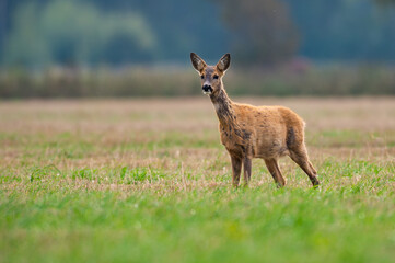 roe deer eating , wild roe deer walking around