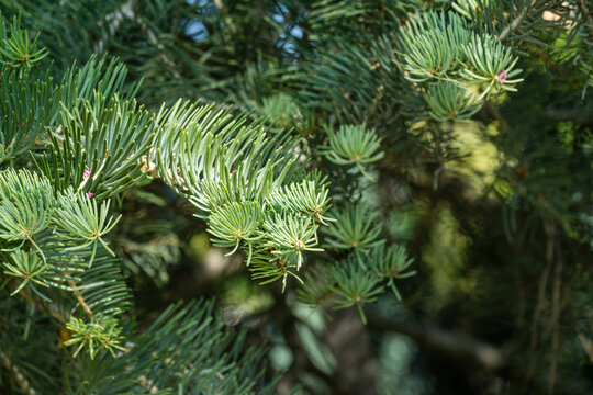 Close-up of branch Abies concolor or white fir as large in city park krasnodar. Public landscape 'Galitsky park' for relaxation and walking in sunny autumn September 2020