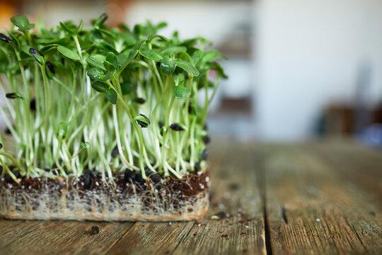 Microgreens sunflower on wooden background, Vegan micro sunflower greens shoots