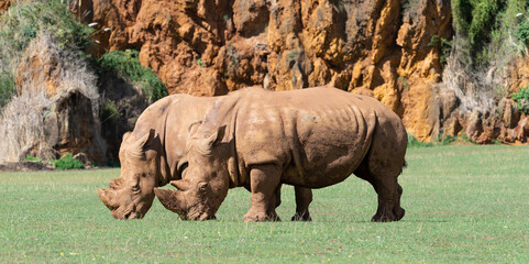 rhino couple eating green grass
