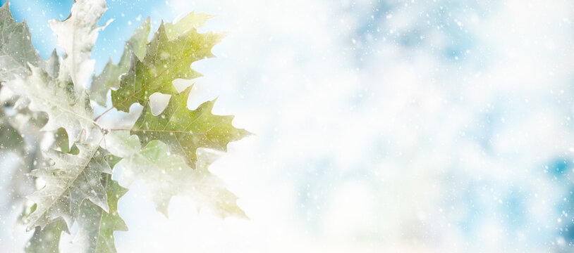 Winter background with snowy oak leaves and natural winter bokeh. Snow nature landscape with copy space for text