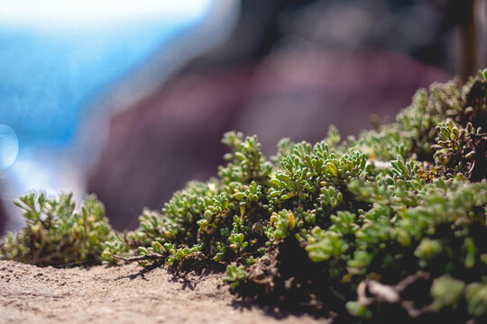 Close up of green succulent flowers in front of blue sea and rocks in a sunny day