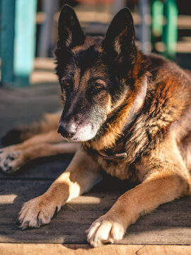 Portrait of a beautiful and big german shepherd dog