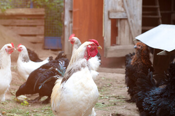 Photo sur Plexiglas Poules A group of white laying hen chickens and rooster with large red combs in a chicken coop on a farm