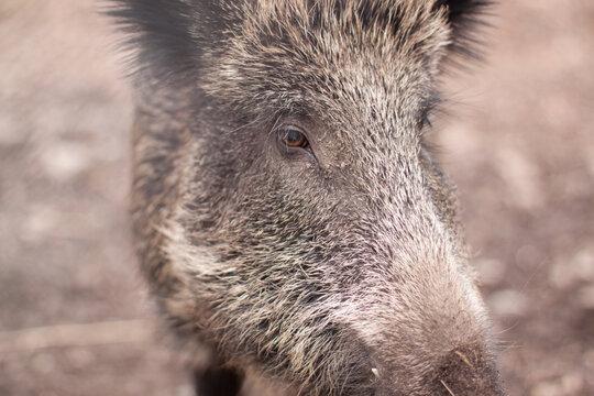 Wild Boar, Looking Up - 2019 Japanese Zodiac Sign Lizenzfrei Nutzbare  Vektorgrafiken, Clip Arts, Illustrationen. Image 107493631.