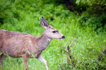 Photo sur Plexiglas Roe roe deer in the woods