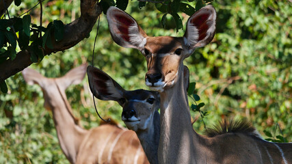 Closeup view of two curious greater kudu antelopes (tragelaphus strepsiceros) standing in the shadow under a tree in Chobe National Park, Botswana, Africa.