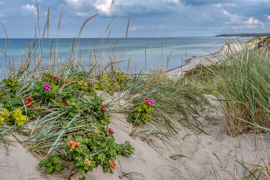 Dunes on the danish coast with lyme grass and rosehips