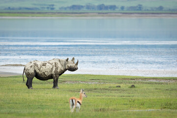 Black rhino standing alert in Ngorongoro Crater in Tanzania