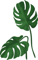 The set of leaves of monstera. Tropical plant. Isolated on a white background. Vector illustration