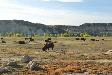 View of wild bisons in the Theodore Roosevelt National Park in badlands in North Dakota, United States