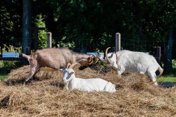 Obraz Zagroda - kozy Capra hircus w swoim gospodarstwie - krajobraz rolniczy, hodowla zwierząt domowych - fototapety do salonu