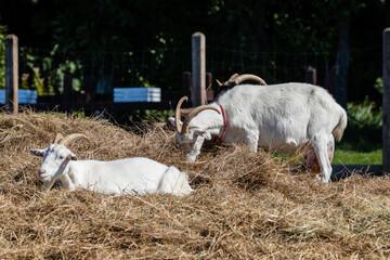 Obraz Zagroda - kozy Capra hircus w swoim gospodarstwie - hodowla zwierząt domowych - fototapety do salonu