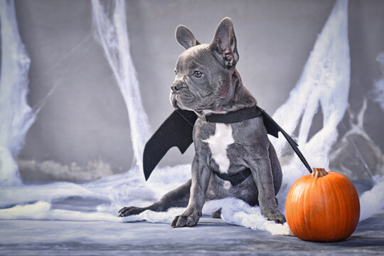 Young blue French Bulldog wearing halloween bat costume wings sitting next to pumpkin in front of gray background with spooky cobwebs