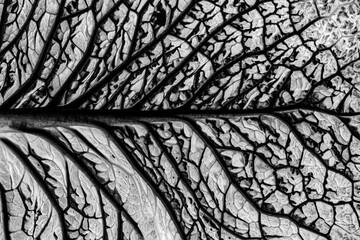 Fototapeta leaf in the detail in black and white