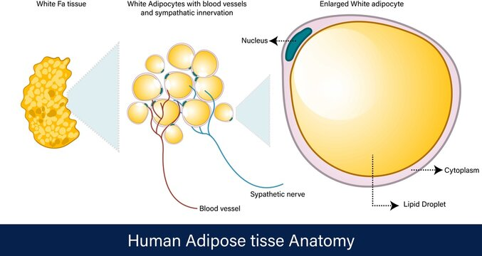 infographics of Human Adipose tissue Anatomy. white adipose tissue . labeled Structure of adipocytes with lipid droplets, blood vessels and Sympathetic innervation vector . lipocytes and obesity.