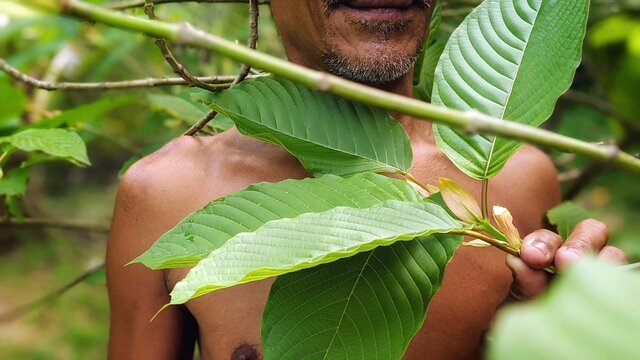 Kratom is a tree. The leaves are used as a recreational drug and as medicine. Kratom is banned by some in Thailand due to safety concerns.