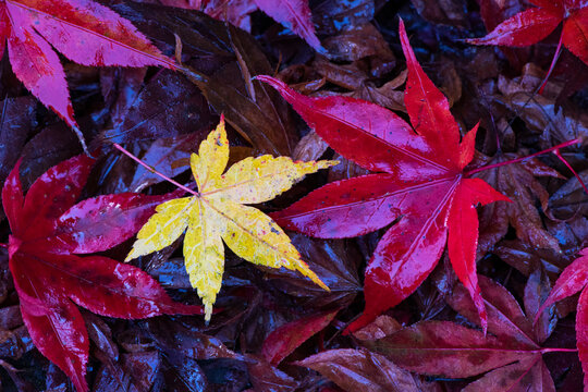 Japanese maple leaves in autumn colours