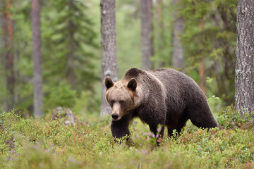 Brown bear walking in the forest scenery