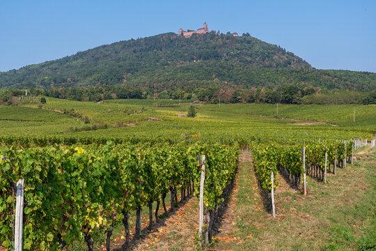 Vineyards in front of the Château du Haut-Kœnigsbourg in France