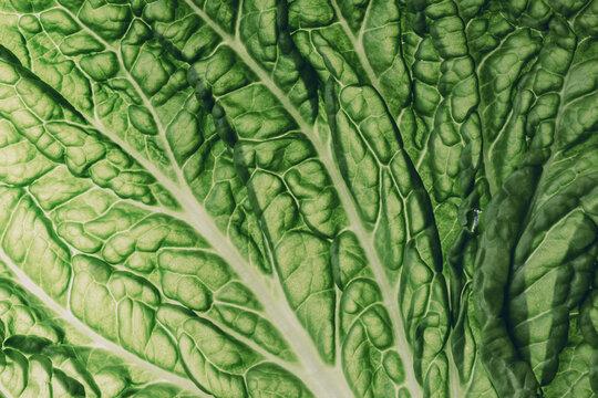 fresh chinese cabbage or napa cabbage texture, macro shot