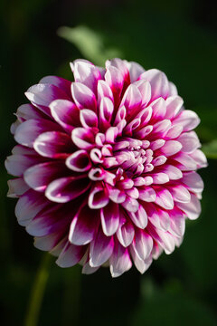 Dahlia ryan c in bloom