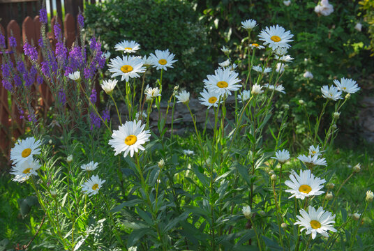 Shasta daisy's in bloom