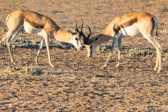Springbuck or Springbok (Antidorcas marsupialis) rams mock fighting Kgalagadi Transfrontier Park, Kalahari, Northern Cape, South Africa