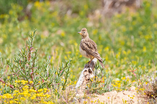 Male Large-billed lark (Galeria magnirostris ) perched on rock in fynbos habitat in spring with crest raised, Western Cape, South Africa